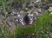 Euphydryas cynthia (Veilchen-Scheckenfalter, Männchen) / NYMPHALIDAE/Melitaeini (Edelfalter)