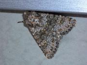 Hecatera dysodea (Kompasslatticheule) / NOCTUIDAE (Eulen)