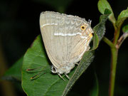 Favonius quercus (Blauer Eichenzipfelfalter) / LYCAENIDAE/Theclini (Bläulinge)
