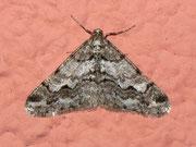 Agriopis leucophaearia (Weissgrauer Breitflügelspanner) / GEOMETRIDAE/Ennominae (Spanner)
