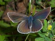 Polyommatus semiargus Violetter Waldbläuling, (Weibchen) / LYCAENIDAE/Polyommatini (Bläulinge)