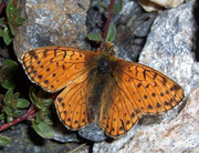 Boloria pales (Hochalpen-Perlmuttfalter) / NYMPHALIDAE/Heliconiinae (Edelfalter)