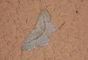 Scopula nigropunctata (Eckflügel-Kleinspanner) / GEOMETRIDAE/Sterrhinae (Spanner)