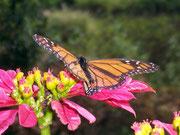 Danaus plexippus (Monarch) / NYMPHALIDAE/Danainae (Edelfalter)