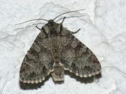 Polia nebulosa (Waldstauden-Blättereule / NOCTUIDAE (Eulen)