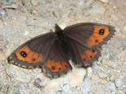Erebia montana  / NYMPHALIDAE/Tr. Erebiini (Edelfalter)