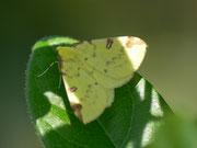 Opistograptis luteolata (Gelbspanner) / GEOMETRIDAE/Ennominae (Spanner)
