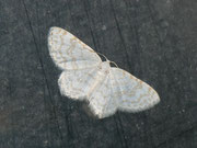 Asthena albulata (Ungepunkteter Zierspanner) GEOMETRIDAE/ Larentiinae (Spanner)