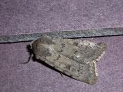 Epipsilia grisescens (Bergwiesen-Bodeneule) / NOCTUIDAE (Eulen)