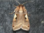 Xestia c-nigrum (Schwarzes C)  / NOCTUIDAE (Eulen)