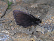 Erebia pluto (Eis-Mohrenfalter) / NYMPHALIDAE/Tr. Erebiini (Edelfalter)