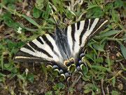 Iphiclides feisthamelii / PAPILIONIDAE/Papilioninae (Ritterfalter)