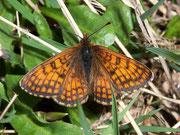 Melitaea varia (Alpen-Scheckenfalter, Männchen) / NYMPHALIDAE/Tribus Melitaeini (Edelfalter)