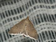 Anania terrealis