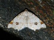 Macaria notata (Hellgrauer Eckflügelspanner) / GEOMETRIDAE/Ennominae (Spanner)