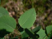 Populus tremula (Pappe, Espe) / SALICACEAE
