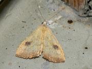Rivula sericealis (Seideneulchen) / NOCTUIDAE (Eulen)