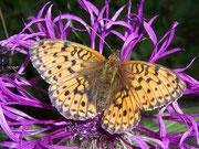 Brenthis ino (Violetter Silberfalter) / NYMPHALIDAE/Heliconiinae (Edelfalter)