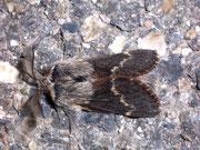 Poecilocampa populi (Kleine Pappelglucke, Männchen) / LASIOCAMPIDAE (Glucken)