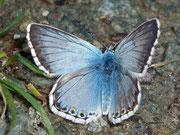 Polyommatus coridon (Silbergrüner Bläuling, Männchen) / LYCAENIDAE/Polyommatini (Bläulinge)