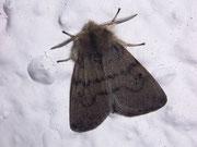 Diaphora sordida (Grauer Fleckenbär, Männchen) / ARCTIIDAE/Arctiinae (Bärenspinner)