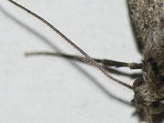 Ectropis creupuscularia (Rinden-Zackenbindenspanner) Weibchen