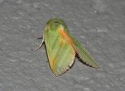 Pseudoips prasinana (Jägerhütchen, Buchen-Kahnspinner) / NOCTUIDAE/Nolidae (Eulen)