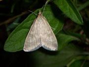 Udea fulvalis / CRAMBIDAE/Spilomelinae (Zünsler)