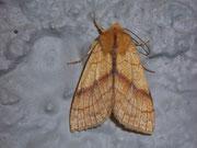 Xanthia (Tiliacea) citrago