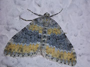 Entephria cyanata (Blaugrauer Gebirgs-Blattspanner) / GEOMETRIDAE/Larentiinae (Spanner)