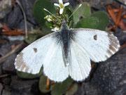 Anthocharis cardamines (Aurorafalter, Weibchen) / PIERIDAE/Pierinae (Weisslinge)