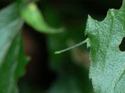 Eupithecia cauchiata (Bergwald-Goldruten-Blütenspanner) / CH BE Hasliberg 1060 m, 13. 08. 2017, an Solidago virgaureae
