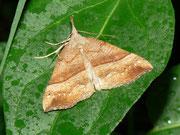 Hypena proboscidalis (Nesselschnabeleule) / NOCTUIDAE (Eulen)