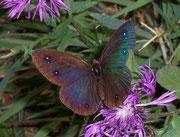 Minois dryas (Blauäugiger Waldportier) / NYMPHALIDAE/Satyrinae (Edelfalter)
