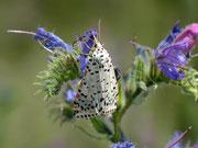 Utetheisa pulchella (Punktbär) / ARCTIDAE/Arctiinae (Bärenspinner)