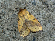 Xanthia togata (Violett-Gelbeule) / NOCTUIDAE (Eulen)