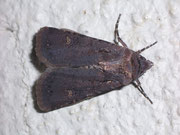 Euxoa nigricans (Schwarze Erdeule) / NOCTUIDAE (Eulen)