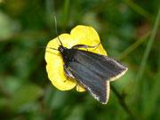 Catastia marginea / PYRALIDAE (Zünsler)