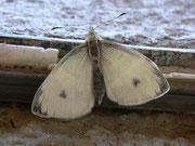 Pieris mannii (Karstweissling, Männchen) / PIERIDAE/Pierinae (Weisslinge)