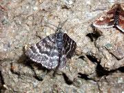 Macaria carbonaria / GEOMETRIDAE/Ennominae (Spanner)