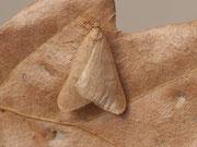 Alsophila aceraria
