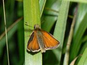 Thymelicus lineola (Schwarzkolbiger Braundickkopffalter) / HESPERIIDAE (Dickkopffalter)