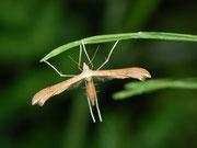 Pterophoridae (Federmotten)