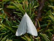 Udea rhododendronalis / CRAMBIDAE/Spilomelinae (Zünsler)