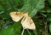 Eulithis pyraliata (Schwefelgelber Haarbüschelspanner) / GEOMETRIDAE/Ennominae (Spanner)