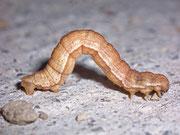 Aplocera praeformata (Johanniskrautspanner)