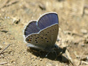 Plebejus optilete (m)