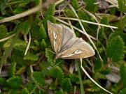 Catoptria petrificella