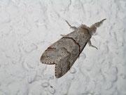 Calliteara pudibunda (Buchen-Streckfuss, Weibchen) / LYMANTRIIDAE (Trägspinner)