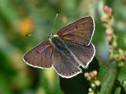 Lycaena tityrus subalpinus (Brauner Feuerfalter, Männchen) / LYCAENIDAE/Lycaeninae (Bläulinge)